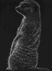 meerkat scratchboard Dleeo